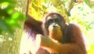 BTJG Orangutan