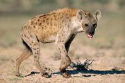 Hyena4