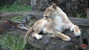 Memphis Zoo Lioness