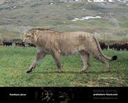 Panthera-atrox3-738x591