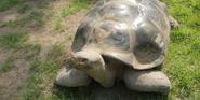 Toledo Zoo Tortoise