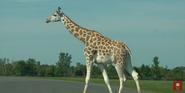 African Lion Safari Giraffe