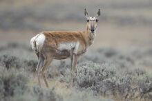 Antilocapra americana female (Wyoming, 2012)
