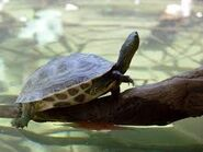 Chinese stripe necked turtle