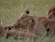 HugoSafari - Lion15