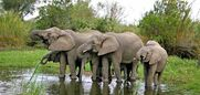 Knp-news-african-elephant-picky-feeding-habbits-590