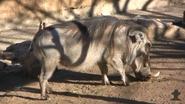 San Antonio Zoo Warthog