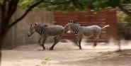 Sedgwick County Zoo Zebras