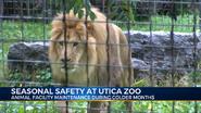 Utica Zoo Lion