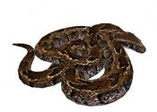 African Rock Python White Background