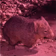 Blinky bills ghost cave - wombat