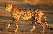 Cheetah Kruger