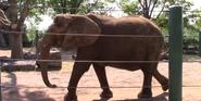 Louisville Zoo African Bush Elephant