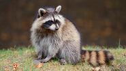 Raccoon-grass