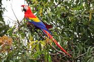 Scarlet-Macaw-cr