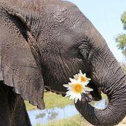 ELEPHANT Eating Flower