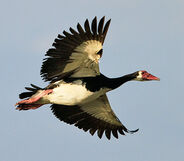 116-spur-winged-goose-chobe-g35455