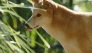 CITIRWN Dingo