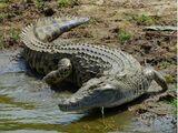 Eastern Nile Crocodile