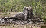 Elephant in the Mudbath