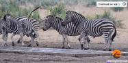 KNP Zebras