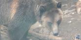 Reid Park Zoo Grizzly