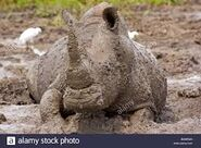 Rhino In the Mudpool