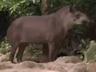 Singapore Zoo Brazilian Tapir