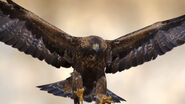 Animals hero golden eagle