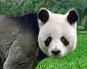 Giant panda switch zoo