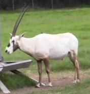 Natural Bridge Wildlife Ranch Arabian Oryx