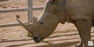 Canberra Zoo Rhino