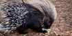 Central Florida Zoo Porcupine