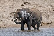 293px-African bush elephant (Loxodonta africana) spraying water Over His Ears