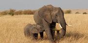 African-Elephant-2