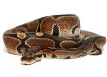 Ball-python-normal-7dcec2b4