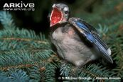 Blue-jay-chick-with-beak-wide-open