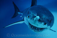 Great-white-shark-70M2659-03