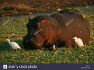 Hippopotamus-hippopotamus-amphibius-and-cattle-egret-bubulcus-ibis-AJBJ1X