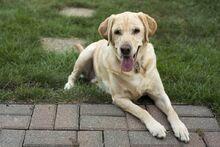 Labrador-retriever-physical-traits