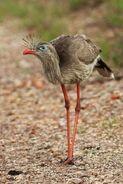 Red-legged-seriema5