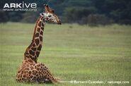 Rothschilds-giraffe