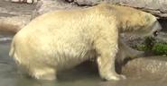 Tronto Zoo Polar Bear