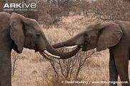 African-elephant-bonding