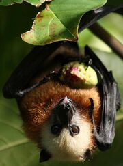 Aldabra Flying Fox Bat