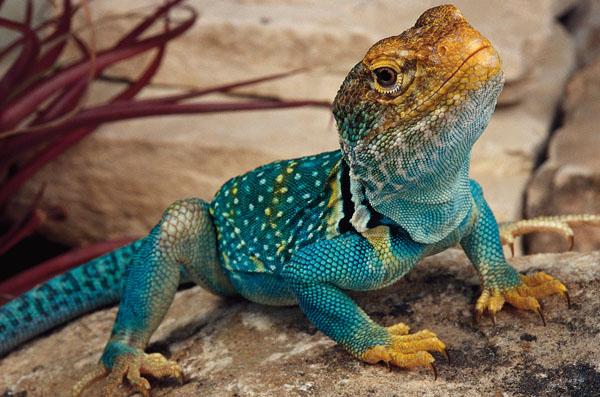 Common Collared Lizard The Parody Wiki Fandom Powered