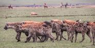 Eastern spotted hyena clan