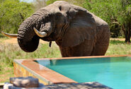 Phinda-Homestead-swimming-pool-south-africa-swim-with-elephants-best-swimming-pools-in-the-world-poolholiday1