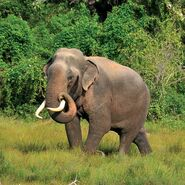 Sri Lankan Elephant Male