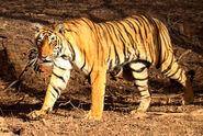 Tiger in Ranthambhore